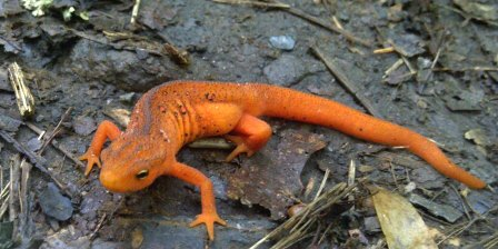 Orange Eft by Appalachian Trail Ridgerunner Billy Jones