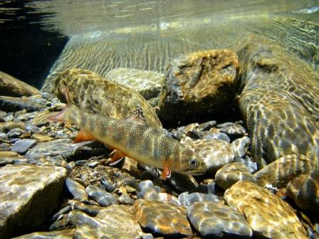 Underwater Brookie by RandRFlyFishing.com